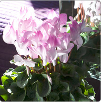 Cyclamen Halios® BLUSH