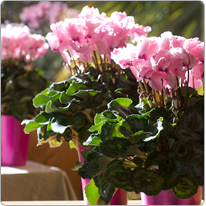 Cyclamen Halios® CURLY® Light pink with red eye