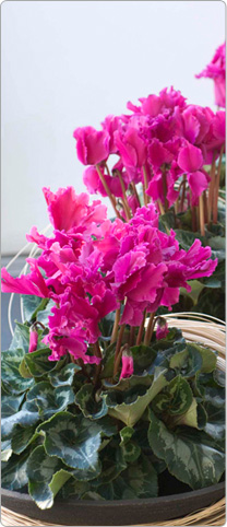 Cyclamen Halios® CURLY® Purple