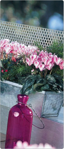 Mini cyclamen Metis® Magenta flame