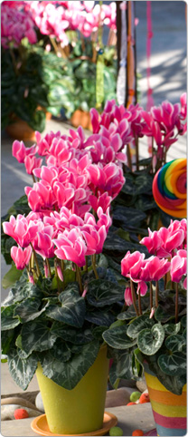 Cyclamen Tianis® FANTASIA® Deep rose