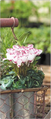 1  mini Metis® cyclamen  VICTORIA White + 1 Thyme + Sage, Parsley, Cive and Mint