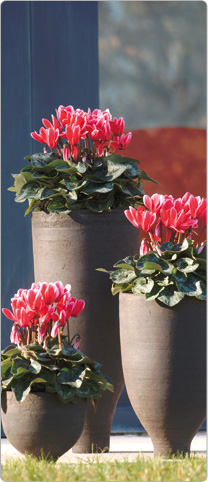 3 Tianis® cyclamen  FANTASIA® Red