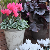Mini Metis ® cyclamen Salmon silverleaf and White + purple Heuchera + Grasses