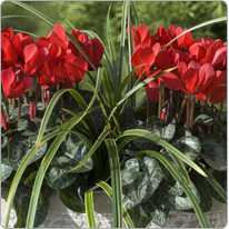 Mini Metis® cyclamen  Red + 1 Carex