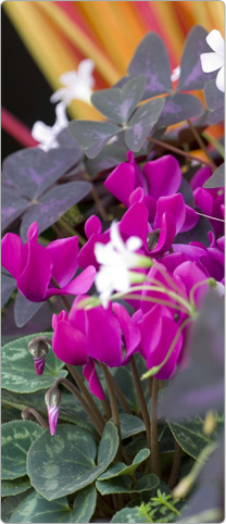 Mini Metis® cyclamen Purple + 1 crimson Oxalis