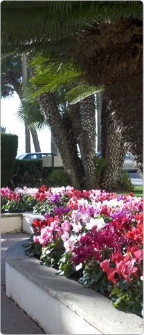 Latinia® cyclamen  - French Riviera - Cannes - Purple, Red, White, Rose with eye, Salmon, Deep rose, Magenta.