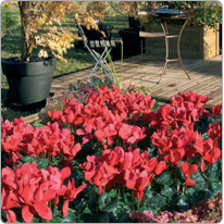 Latinia®  cyclamen Red