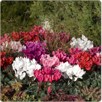 Midi Tianis® cyclamen  - Colour range Purple, Red, White, Rose with eye, Salmon, Neon rose, Magenta and flamed.