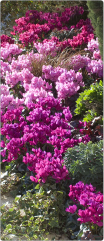 Mini Metis® cyclamen silverleaf Purple, Persian rose and Magenta.