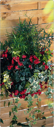 Mini Metis® cyclamen  Red - multicoloured Ivy, Asparagus, Spindle