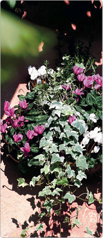 Mini Metis® cyclamen  Purple and White - multicoloured Ivy, dwarf Spindle