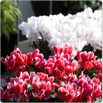 Cyclamen  Latinia® FANTASIA® Red and White