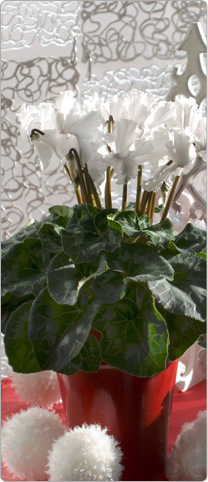 Cyclamen  Halios® CURLY® White
