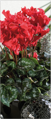 Cyclamen  Halios® CURLY® Red