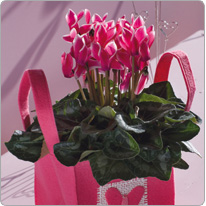 1 Tianis® cyclamen FANTASIA® Deep rose -  Bag Clayrton  (waterproof protection bag)