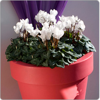 4 mini cyclamens Metis® Blanc
