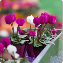 Micro cyclamen Baby Metis® Purple and White