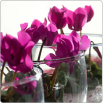 Micro cyclamen Baby Metis® Purple