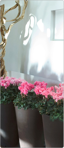 Cyclamen Halios® CURLY® Rose flame