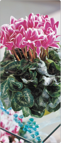 Cyclamen Halios® FANTASIA® Purple