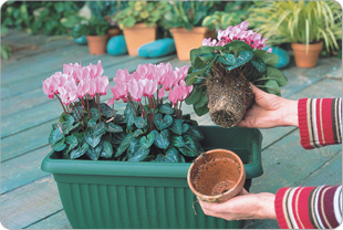 Take the mini cyclamen out of their pot very delicately so as not to damage the roots.