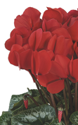 Cyclamen Halios® HD Rouge REBELLE®