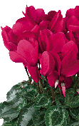 Cyclamen Halios® 2076 - HD Grenadine