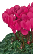 Cyclamen Halios® 2077 HD Neon rose