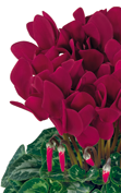 Cyclamen Halios® 2107 HD Deep magenta