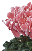 Cyclamen Halios® HD Saumon flammé