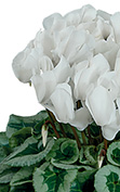Cyclamen Halios® Blanco decora