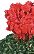 Cyclamen Halios® - CURLY® Scarlet salmon