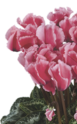 Cyclamen Halios® CURLY® LITCHI® Fucsia