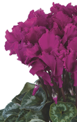 Cyclamen Halios® CURLY® Violet vif