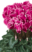 Cyclamen Halios® 2507 - CURLY® Magenta with edge