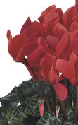 Cyclamen Latinia® SUCCESS® Deep salmon