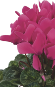 Cyclamen Latinia® SUCCESS® Neon rose