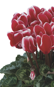 Cyclamen Latinia® FANTASIA® Red evolution