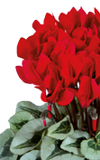 Cyclamen METALIS® Rouge