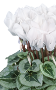 Cyclamen METALIS® White