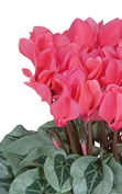 Cyclamen METALIS® Salmon