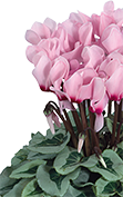 Cyclamen METALIS® METALIS® Light pink with eye