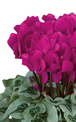 Cyclamen METALIS® Bright purple