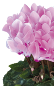 Cyclamen Metis® 4080 - Rose aquarel