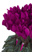 Cyclamen Metis® 4096 - Purple evolution