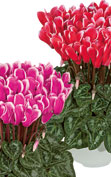 Cyclamen Metis® 4315 - FANTASIA® Red & Deep rose
