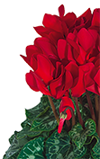 Cyclamen Midi+® 5011 - Bright red