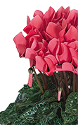 Cyclamen Midi+® 5041 - Salmon with eye