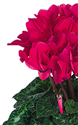 Cyclamen Midi+® 5071 - Deep rose
